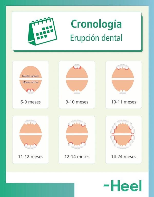 Cronología: ¿cuándo salen los dientes? - HeelEspaña