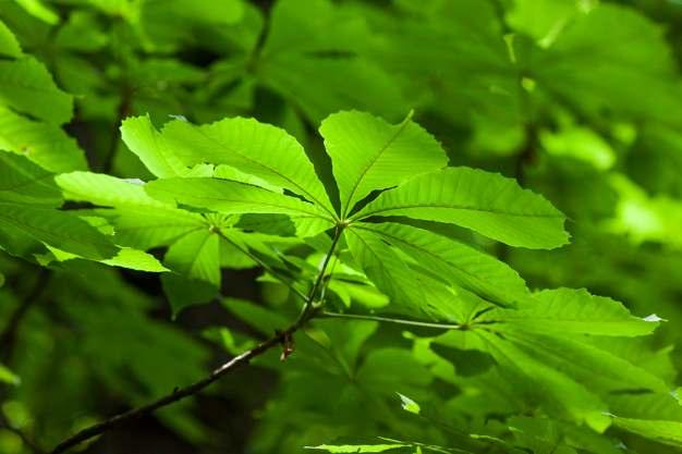 Castaño de indias, la mejor planta para las varices y piernas cansadas